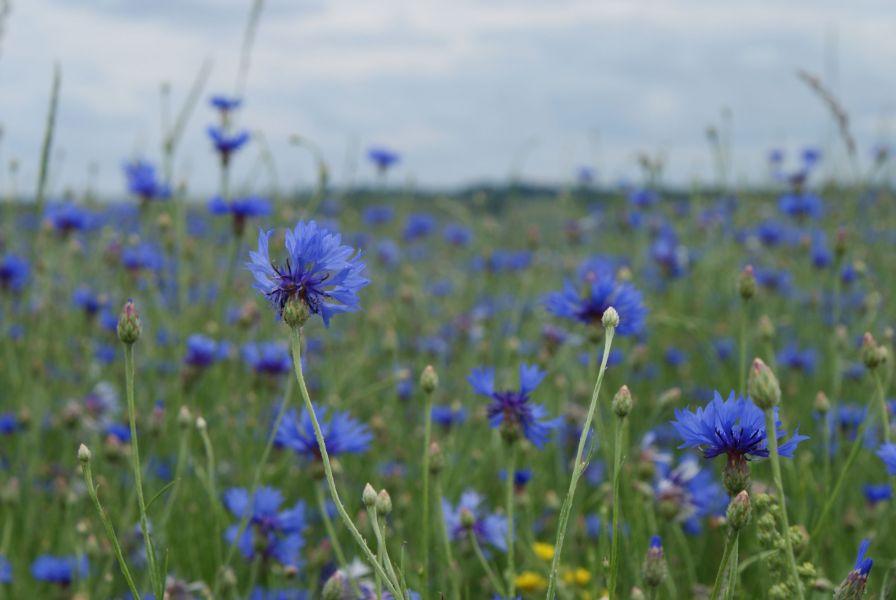 синий чай чай из цветков клитории